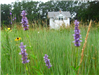 Up close image of purple flowers in a field in front of white building